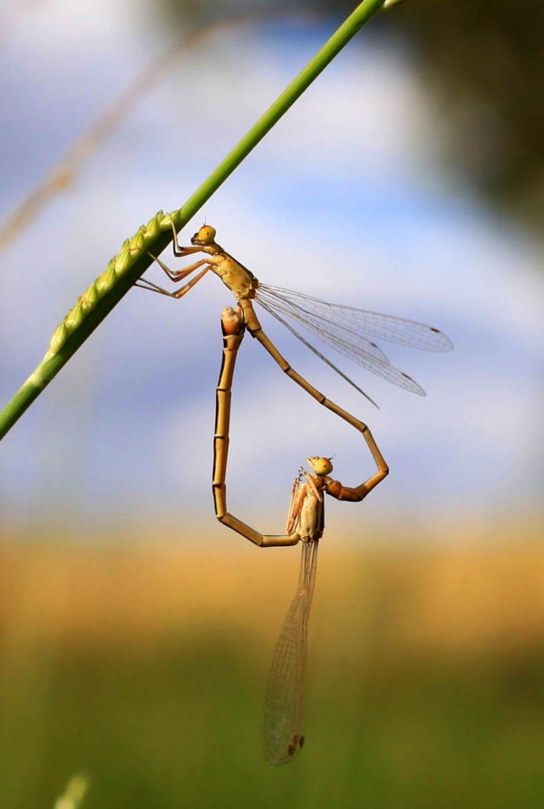Damsel Flys